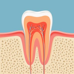 Illustration of an accurate anatomy of a tooth and the jaw it is anchored in